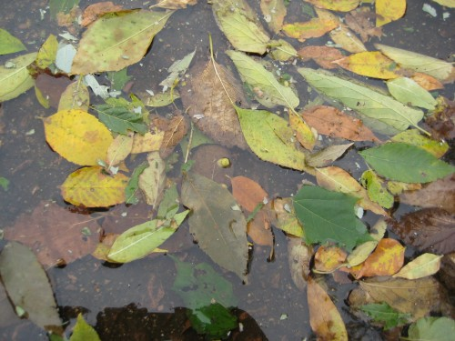 leaves in a puddle